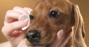 how to treat dog eye infection at home