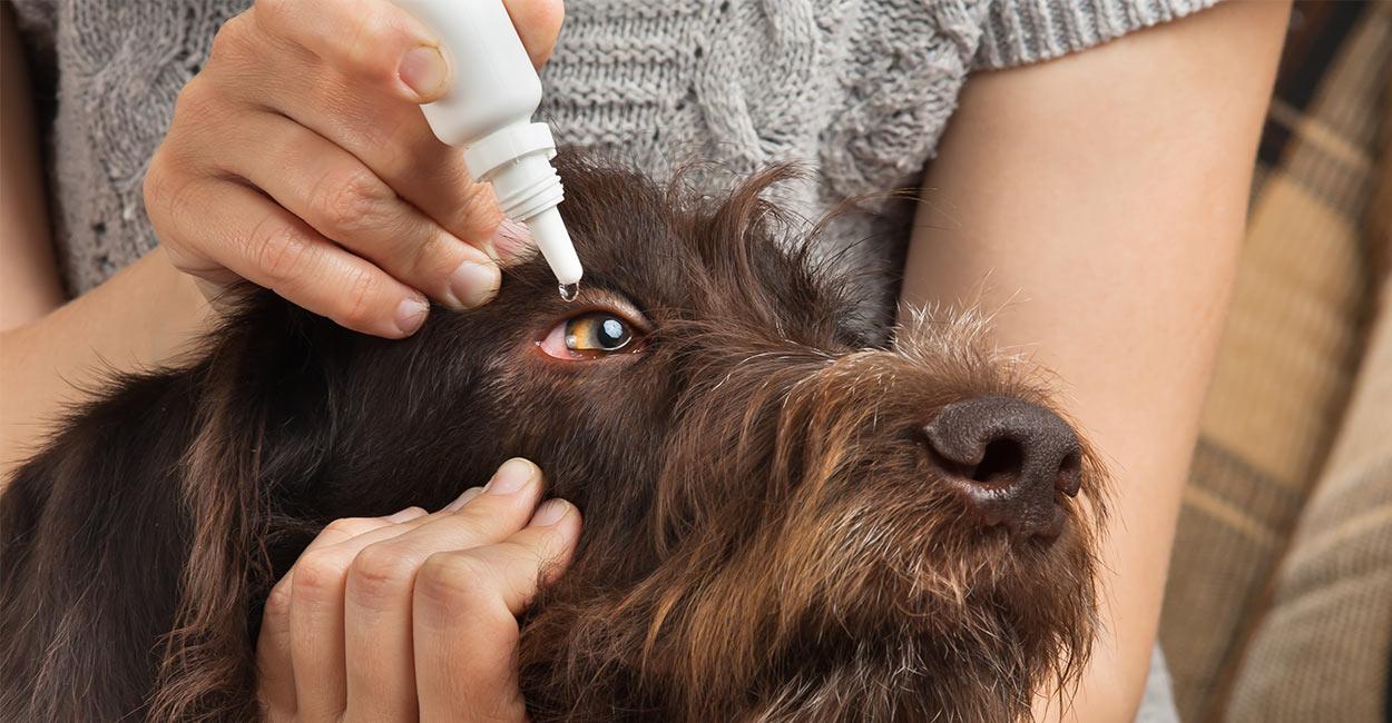 Dog conjunctivitis treatment