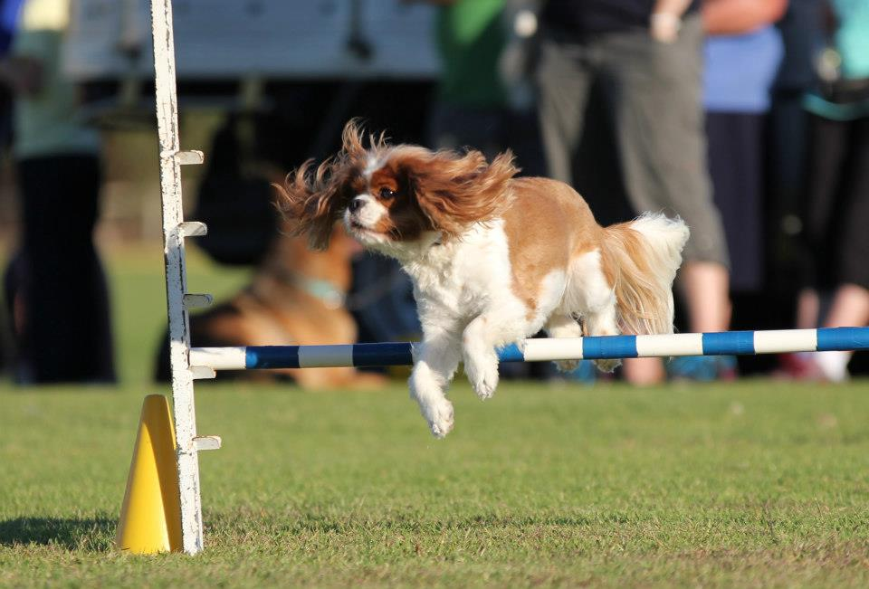 Dog Agility Training - All You Need to Know